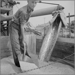 boy using scoop shovel for grain