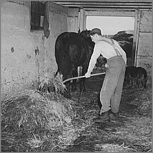 cleaning out a horse stall