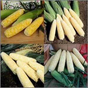 Best sweet corn varieties