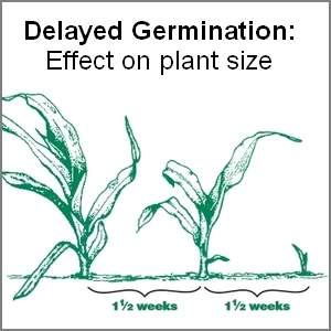 Plant growth effect of delayed seed germination