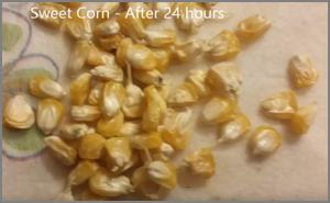 Testing corn seed for germination