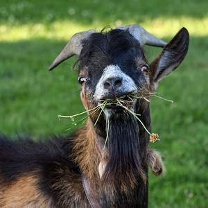 using a goat to control weeds