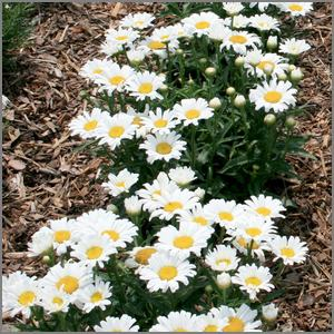 Shasta daisies attract beneficial insects