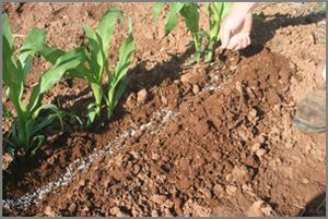 fertilizer side dressing by hand