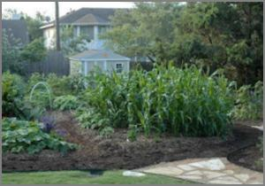 garden with a square plot of corn