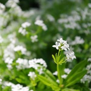 sweet woodruff as living mulch