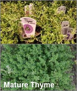 Plant thyme to repel earworm