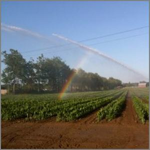 watering corn with overhead sprinkler