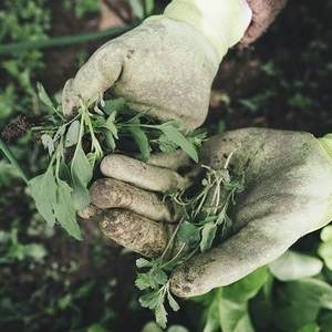 dead weeds held in gloved hands